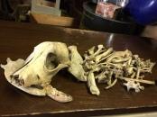 ANIMAL SKULL AND BONES